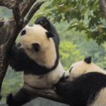 Серия 22 Китай — Угроза исчезновения: как в Китае ухаживают за пандами и людьми