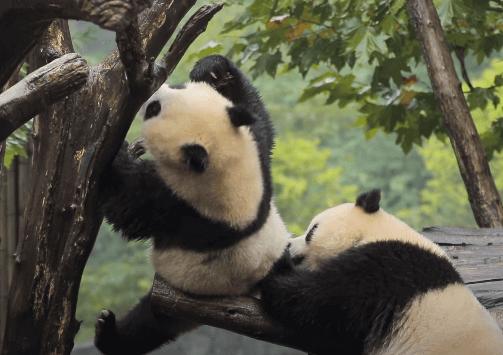 Угроза исчезновения: как в Китае ухаживают за пандами и людьми. Мир наизнанку 11 сезон 22 серия
